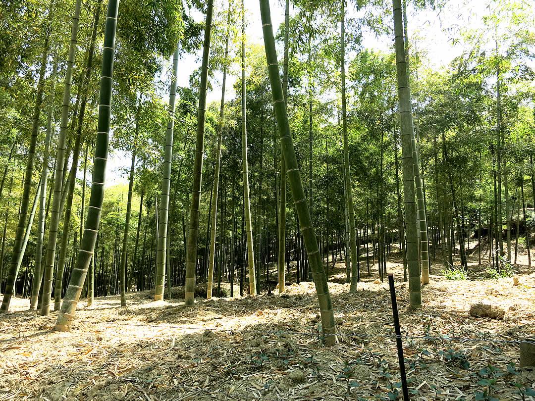 京都の筍竹林