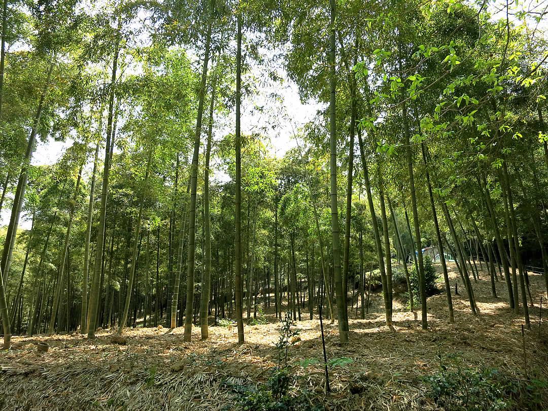 京都の筍畑