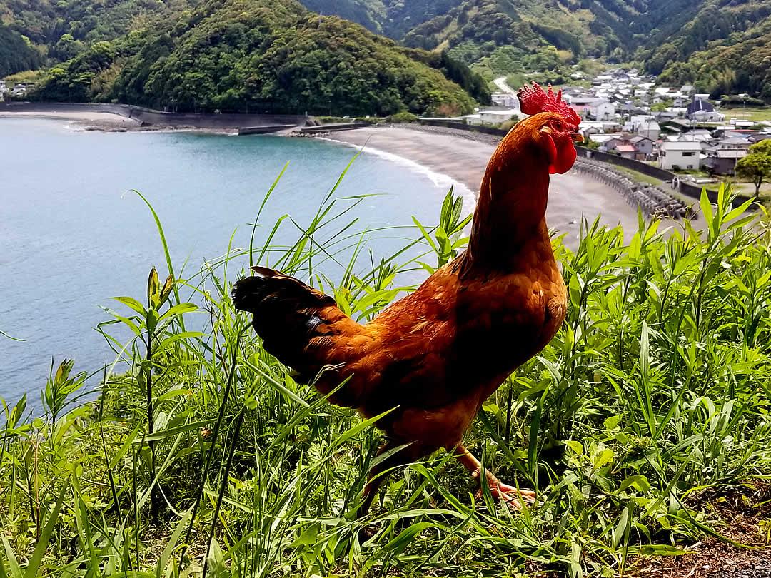 虎竹の里、野良鶏