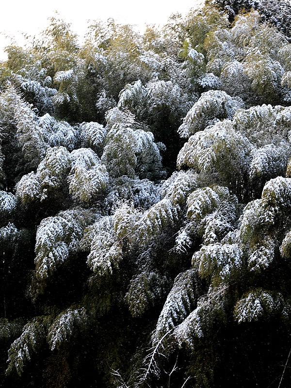 雪と孟宗竹