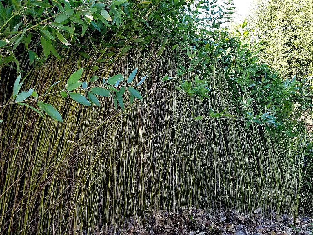 メゴ笹竹林