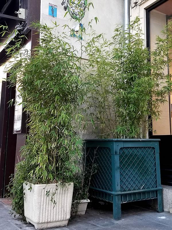 パリの植栽竹
