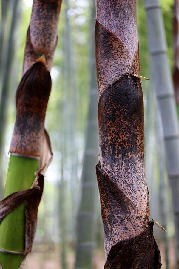 筍から竹へ、竹皮