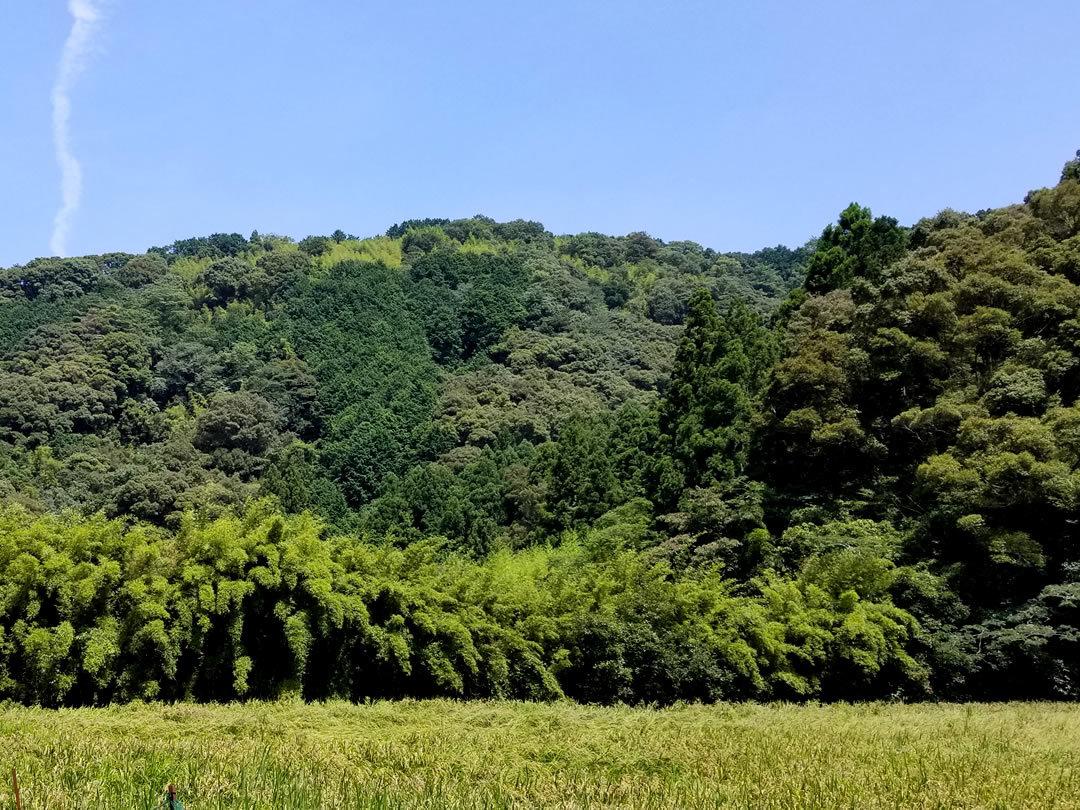 河川の蓬莱竹