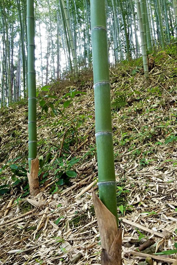虎竹の若竹