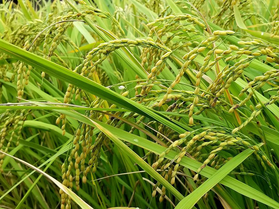 虎竹の里の新米