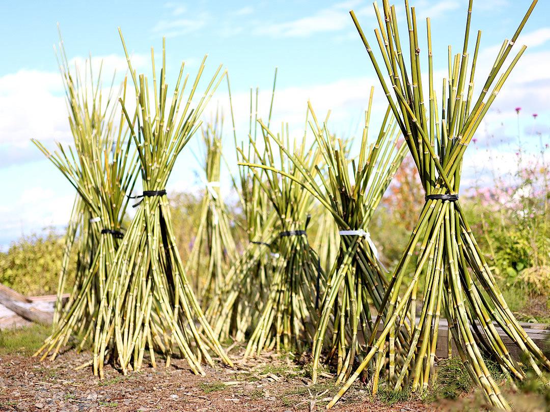 根曲竹乾燥