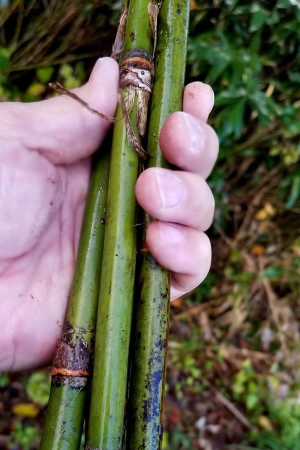 生きている根曲竹