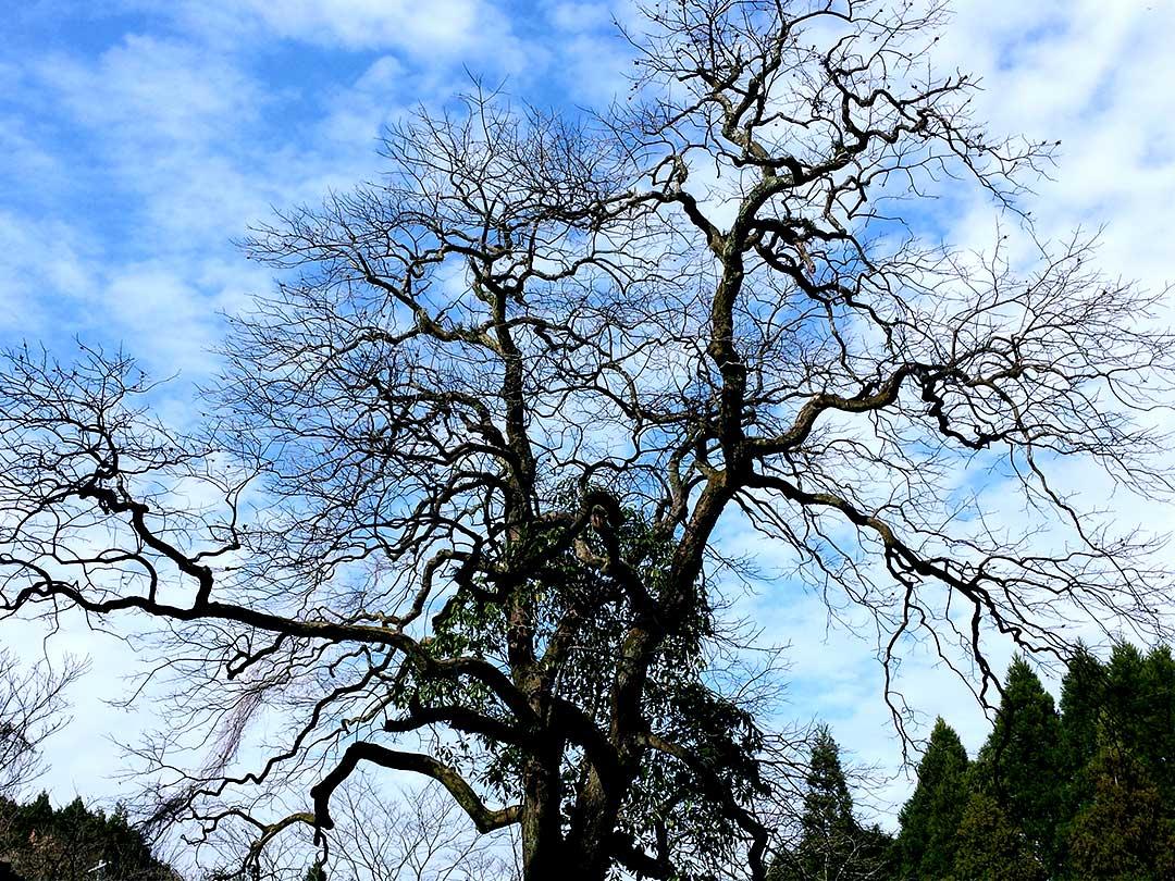 竹細工を見守り続けてきた樹齢350年の柿の木