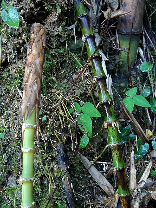 日本唯一虎竹の竹根