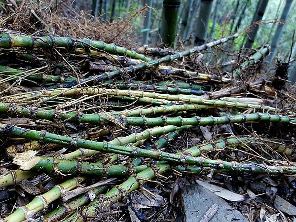 虎竹の竹根