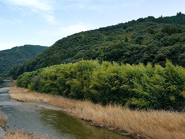 護岸用の竹林