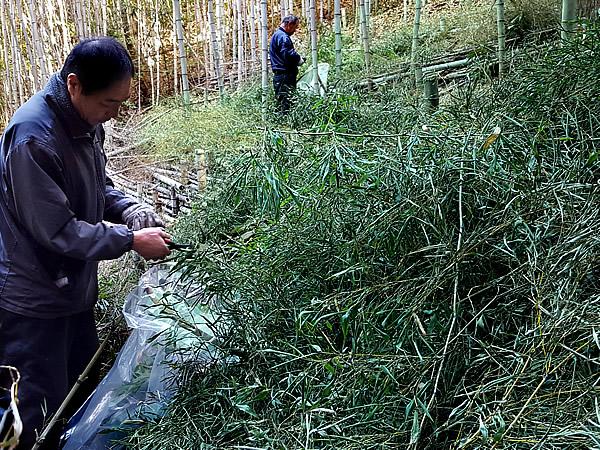 日本唯一の虎竹茶摘み