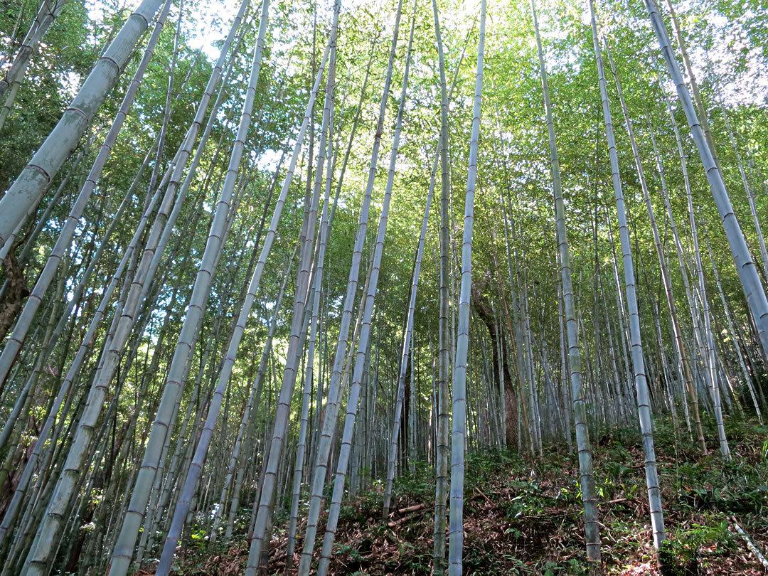 日本唯一の虎竹