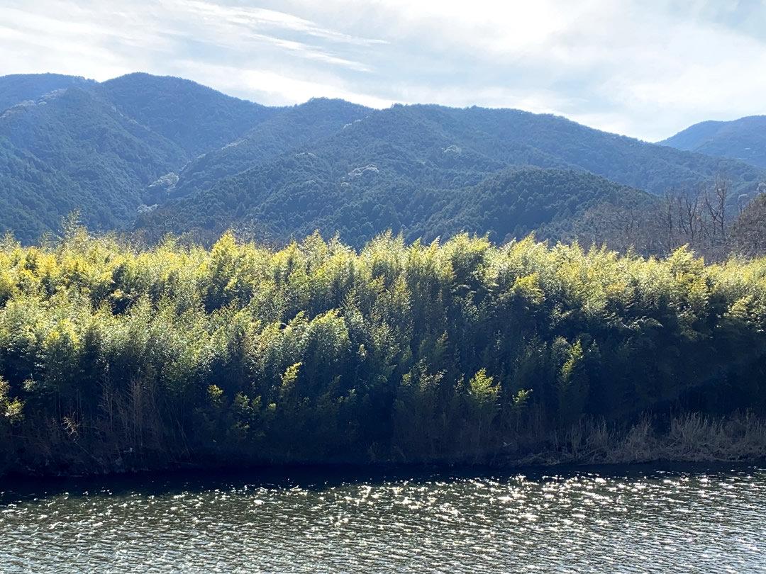 新荘川の竹
