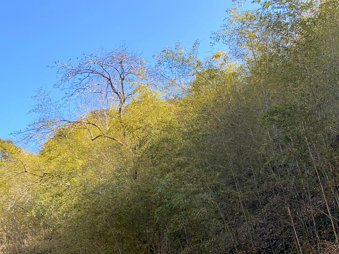 黒竹の竹林