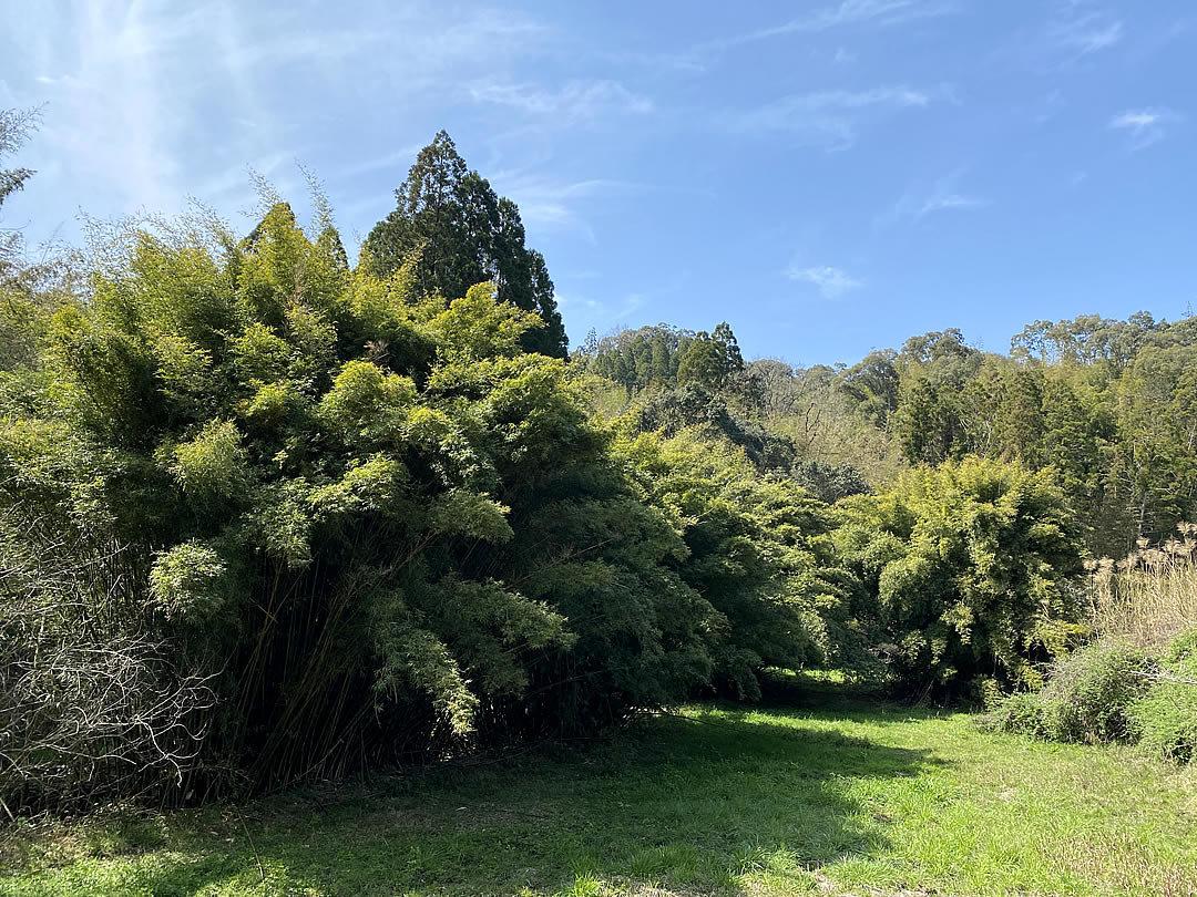 蓬莱竹、シンニョウチク
