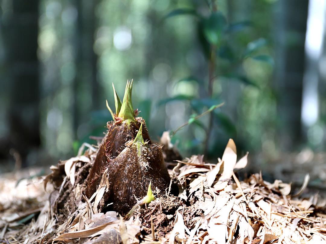 孟宗竹の筍
