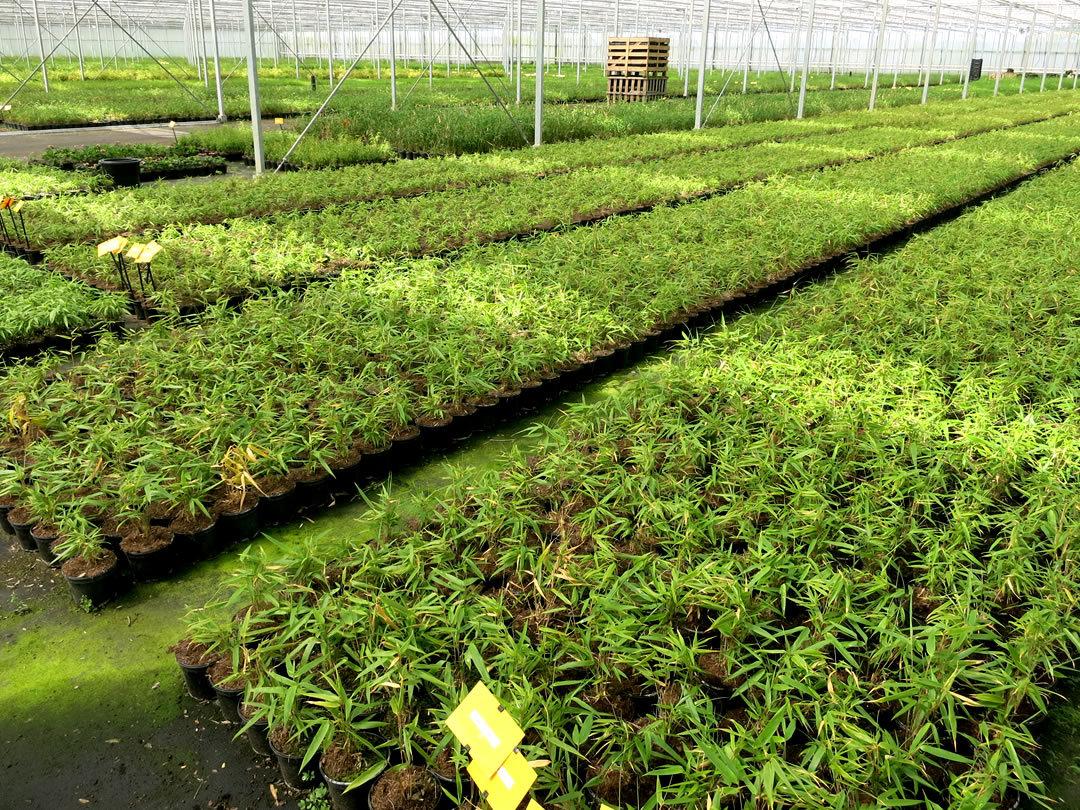 Oprins Plant、オプリンズの竹