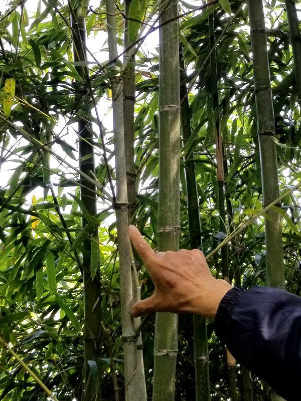 布袋竹、五三竹