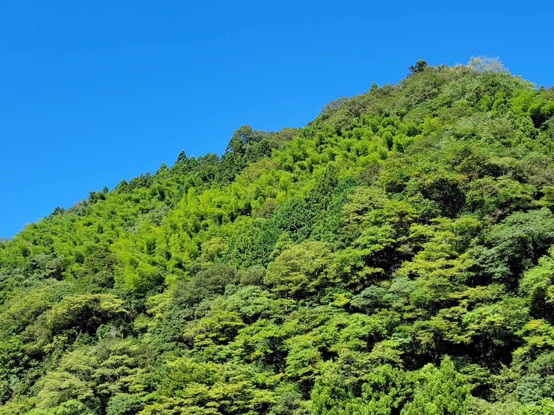 仁淀の竹林