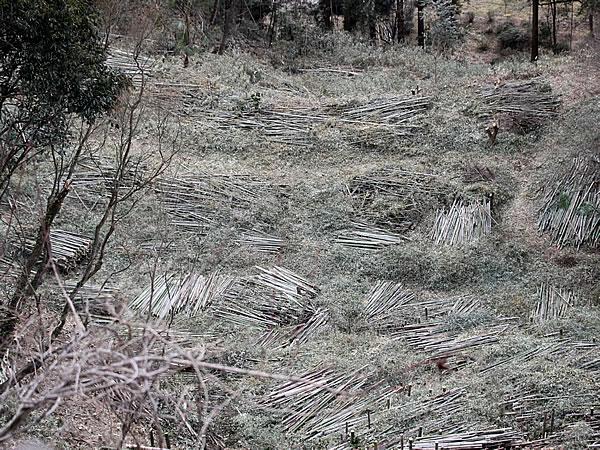 総伐り竹林
