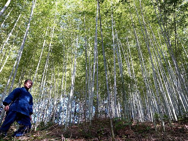 日本唯一虎竹の林