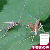 鈴虫(ペア)