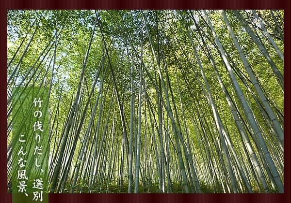 竹の刈りだし、選別