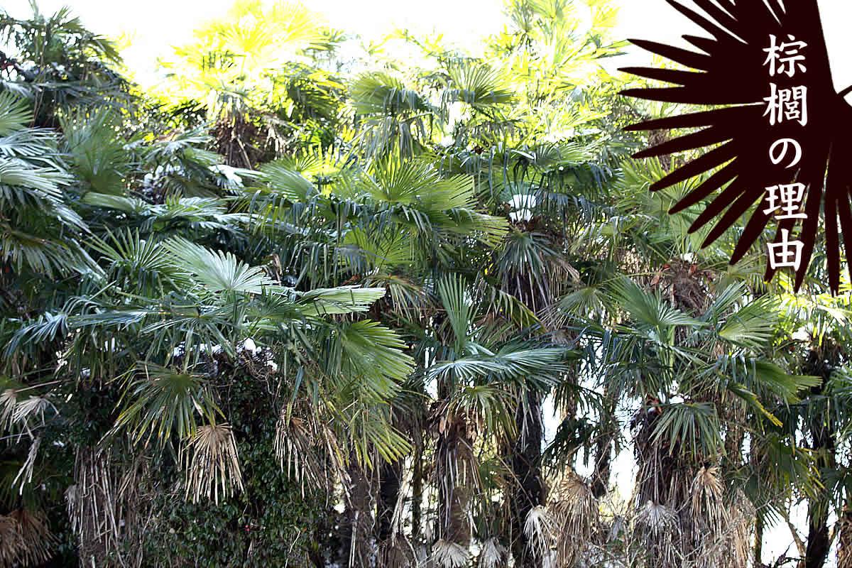 棕櫚、シュロ