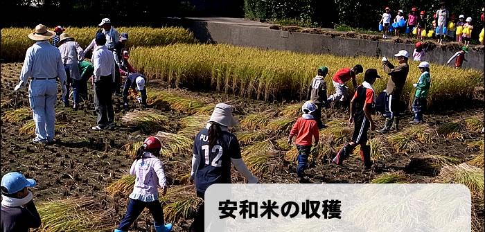 安和米の収穫