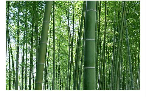 Japanese moso bamboo in Shikoku.