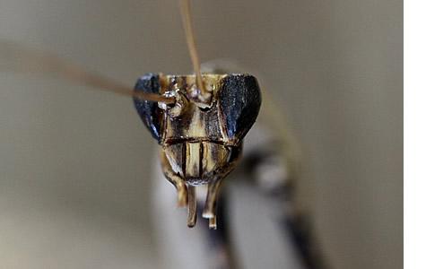 虎竹カマキリ