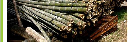 伐採される虎竹