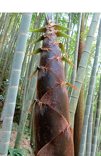 一条竹の子村