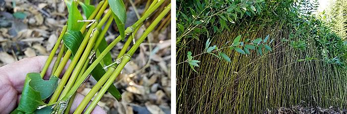 メゴ笹、メゴ笹の竹林
