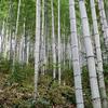 日本唯一の虎竹の里の竹林見学