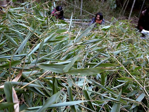 虎竹の葉茶摘み
