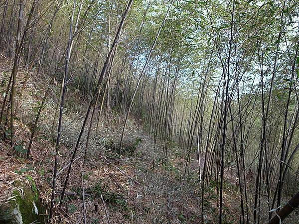 手入れ後の黒竹竹林