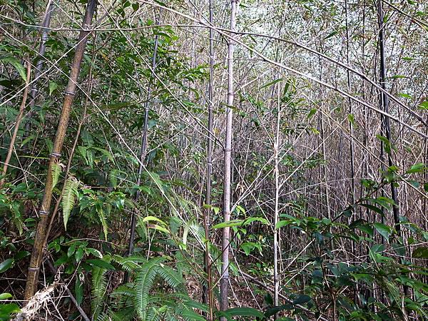 手入れ前の黒竹竹林