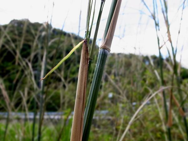 竹 黒竹 枝