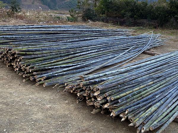 虎竹,伐採,高知,虎竹の里