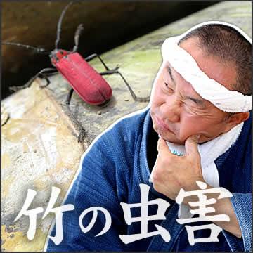 竹の虫害について
