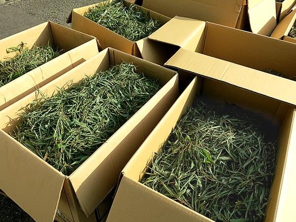 摘み取った竹葉