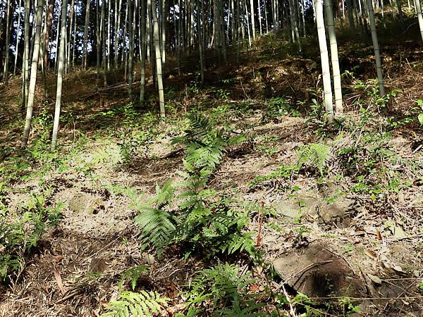 虎斑竹,虎竹,竹林